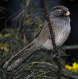 Brown Parrotbill.jpg