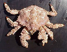 Brown box crab (Lopholithodes foraminatus).jpg