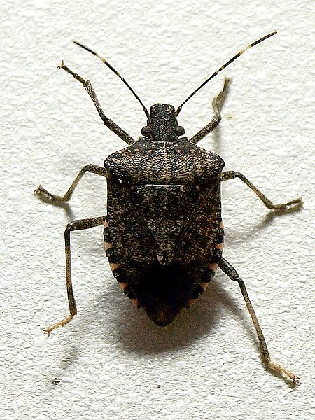 File:Brown marmorated stink bug.jpg