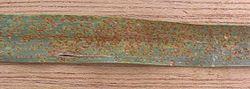 Bruine roest op tarwe (Puccinia recondita f.sp. tritici on Triticum aestivum).jpg
