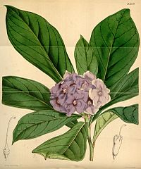 Brunfelsia hydrangeiformis Curtis 4209