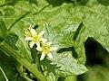 Bryonia dioica (fem).jpg