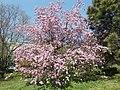 Buda Arboreta. Lower Garden, pink. - 2016 Újbuda.jpg