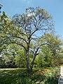 Buda Arboreta Lower Garden, Sycamore, 2016 Újbuda.jpg