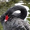 Bulgaria Black Swan 07.jpg