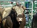 Bull 0 horns.jpg