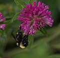 Bumblebee on clover in Aspen (91307).jpg