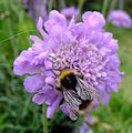 Bumblebee on scabious, Sandy, Bedfordshire (7358877226).jpg
