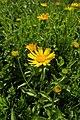 Buphthalmum salicifolium kz01.jpg