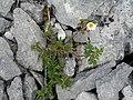 Burren Flora 6 Burnet Rose (3586089078).jpg