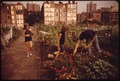 "CITY ""FARMERS"" CULTIVATE THRIVING GARDEN. VOLUNTEERS WERE ASSIGNED THEIR PLOTS BY COMMUNITY ASSOCIATION. THE SQUARE... - NARA - 551621.tif"