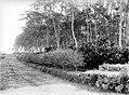 COLLECTIE TROPENMUSEUM Cacao aanplant onder Deguelia met rorako pagger (ormocarpum glabrum) TMnr 10012223.jpg