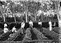 COLLECTIE TROPENMUSEUM Jonge aanplant van de Middelbare Landbouwschool te Buitenzorg Java TMnr 10002355.jpg