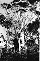 COLLECTIE TROPENMUSEUM Toewalangs bomen waarin zwermende bijen nestelen op de onderneming Limau-Moengkoer westkust Midden-Sumatra. TMnr 60012873.jpg