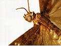 CSIRO ScienceImage 11061 Tropical warehouse moth or almond moth Cadra cautella syn Ephestia cautella.jpg
