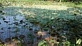 CUET Roadside waterlily pond.jpg