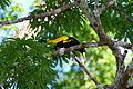 Cacicus cela -Orellana Province, Ecuador-8.jpg