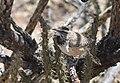 Cactus Wren (33879872636).jpg