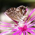 Cacyreus.marshalli.jpg