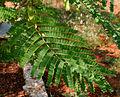 Caesalpinia sappan (Sappan wood) W IMG 3193.jpg