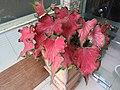 Caladium red lance-2-jaffna-Sri Lanka.jpg