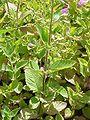 Calamintha grandiflora1.jpg