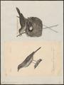 Calamodyta arundinacea - 1700-1880 - Print - Iconographia Zoologica - Special Collections University of Amsterdam - UBA01 IZ16200081.tif