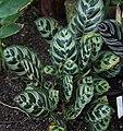 Calathea ornata, Victoria Esplanade Park (1).jpg