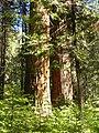 Calaveras Big Trees State Park - South Grove, CA - panoramio (3).jpg