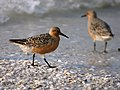 Calidris canutus (breeding plumage).jpg