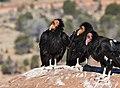 California Condor (29963861340).jpg