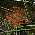 California red-legged frog.jpg