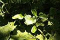 Calla palustris in natural monument Stribrna Hut in summer 2011 (10).JPG