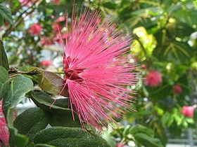 Calliandra emarginata - Pink Powderpuff - desc-flower.jpg
