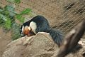 Callosciurus prevostii at the Denver Zoo-2012 03 12 0666.jpg
