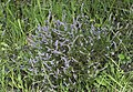 Calluna vulgaris - Scotch Heather 2018-08-18.jpg