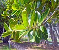 Calophyllum leaves 02.jpg