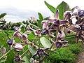 Calotropis gigantea flowers (080).jpg