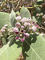 Calotropis procera fiore.jpg