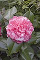 Camellia.japonica.cv.Colombo.7169.jpg