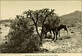 Campfires on desert and lava (1908) (14586563428).jpg