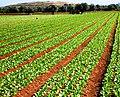 Campi di verdura - panoramio.jpg