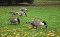 Canada geese (Branta canadensis) in Hyde Park.jpg