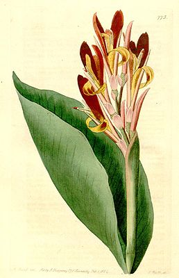 Indisches Blumenrohr (Canna indica), Illustration
