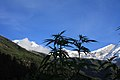 Cannabis plants in front of the Dhaulagiri summit (different angle).jpg