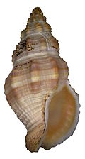 Cantharus elegans (Griffith & Pidgeon, 1834) (4187449849).jpg