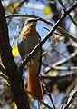 Cape Robin-Chat, Cossypha caffra, at Walter Sisulu National Botanical Garden (9648375260).jpg
