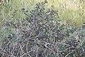 Capparis spinosa-2212.jpg