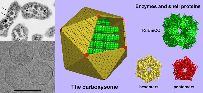 800px-Carboxysome_3_images