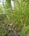 Carex-stipata-var-stipata 9175288975 o (2).png